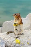 Chipmunk Eichhörnchen