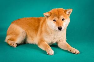 Shiba Inu sitzt auf einem grünen Hintergrund