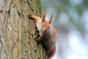 rotes Eichhörnchen