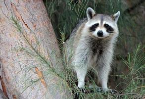 Waschbär thront im Baum und sieht neugierig aus