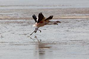 Gruppe von Flamingos fliegen über die Lagune, Bolivien