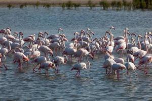 größere Flamingos in Dubai