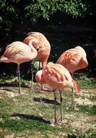 vier amerikanische flamingos (phoenicopterus ruber)