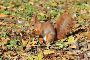 Eichhörnchen - ein Nagetier aus der Familie der Eichhörnchen. foto