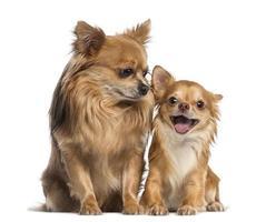 Chihuahua sitzen und schauen auf einen glücklichen Freund foto