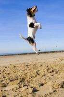 springender jack russell foto