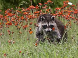 junger Waschbär, der in orange Blumen aufwirft