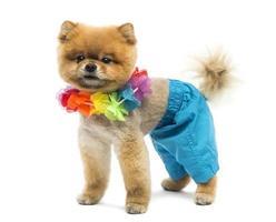 gepflegter pommerscher Hund, der Shorts und eine hawaiianische Lei trägt