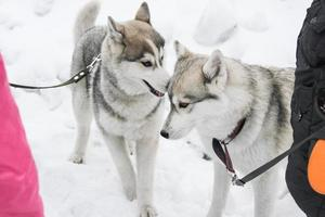zwei Huskys spielen foto