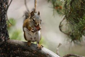 Kieferneichhörnchen in einem Baum foto