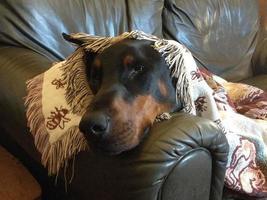 schläfriger Dobermann foto
