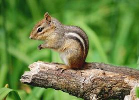 eine Nahaufnahme eines entzückenden Streifenhörnchens, das auf einem Ast sitzt