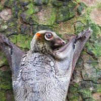 Eisbecher fliegen Lemur