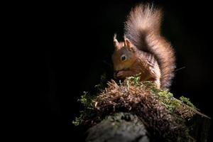 rotes Eichhörnchen in der Sonne