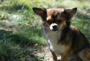 Chihuahua foto