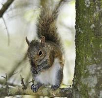 östliches graues Eichhörnchen foto