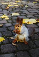 rotes Eichhörnchen nagt an einer Nuss