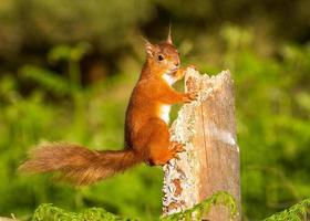 Rotes Eichhörnchen im Wachdienst