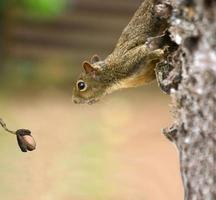 Eichhörnchen schaut auf sein Mittagessen