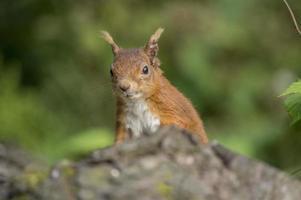 rotes Eichhörnchen, Sciurus vulgaris, auf einem Baumstamm