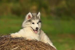 weißer Husky. Hündchen. 1 Monat