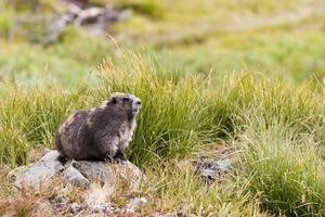 olympisches Murmeltier (Marmota olympus), das auf einem Felsen im Grünland sitzt
