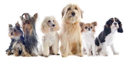 sechs kleine Hunde