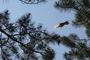 Eichhörnchen fliegt von einem Baum zum anderen foto