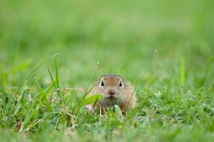 Europäisches Grundeichhörnchen im Gras versteckt