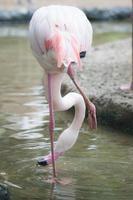 Flamingo trinken foto