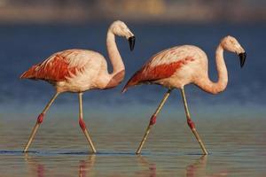 chilenischer Flamingo
