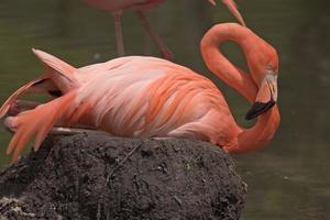 amerikanischer Flamingo