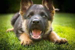Deutscher Schäferhund Welpe spielt an einem warmen Sommertag