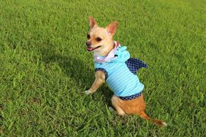 Hai Woche Chihuahua!