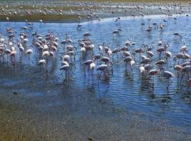 Flamingos in der Walvis Bay