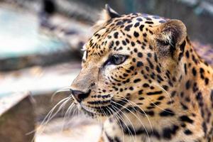 Panther hautnah
