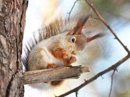 Eichhörnchen auf Baum mit Nuss