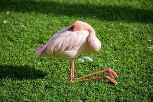 schlafender Flamingo
