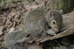 neugieriges Baby Eichhörnchen foto