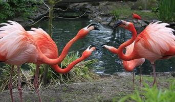 Red Flamingos Chating, Naturschutzgebiet, Belgien