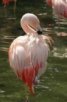 schöner Flamingo waten