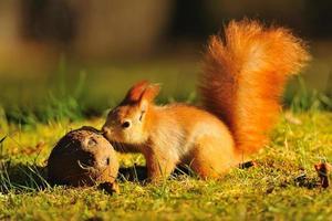 rotes Eichhörnchen mit Kokosnuss