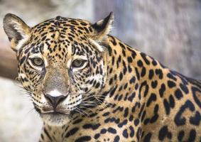 großer Leopard Jaguar foto