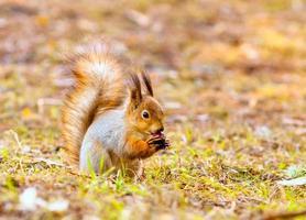 rotes Eichhörnchen hält Pfoten verrückt