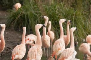 chilenische Flamingos