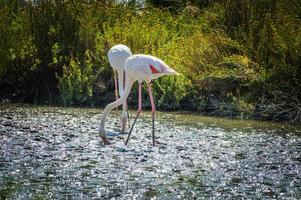 rosa flamingo (phoenicopterus ruber) in camargue, frankreich