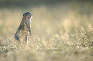 Europäisches Grundeichhörnchen, das auf dem Boden steht foto
