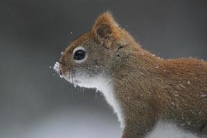 rotes Eichhörnchen mit Schnee auf der Nase