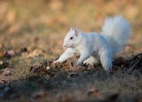 weißes Eichhörnchen, das Nüsse begräbt