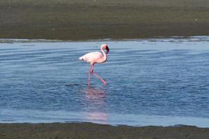 Flamingos im Ozean in der Nähe von Swakopmund. foto